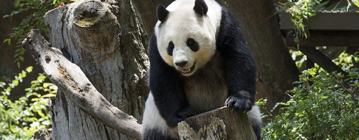 panda-739331_1280